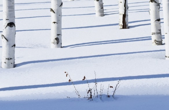 Photography of Birch trees in Anchorage, Alaska.