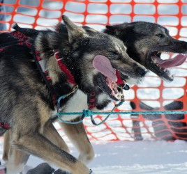 A pair from Jeff King's team at the start of the 2013 Iditarod.