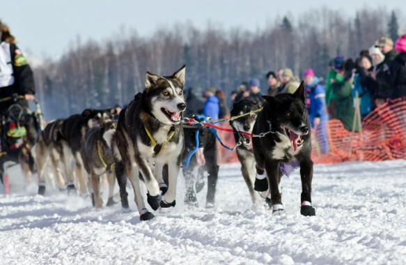 Iditarod Sled Dog Race at Willow, Alaska.